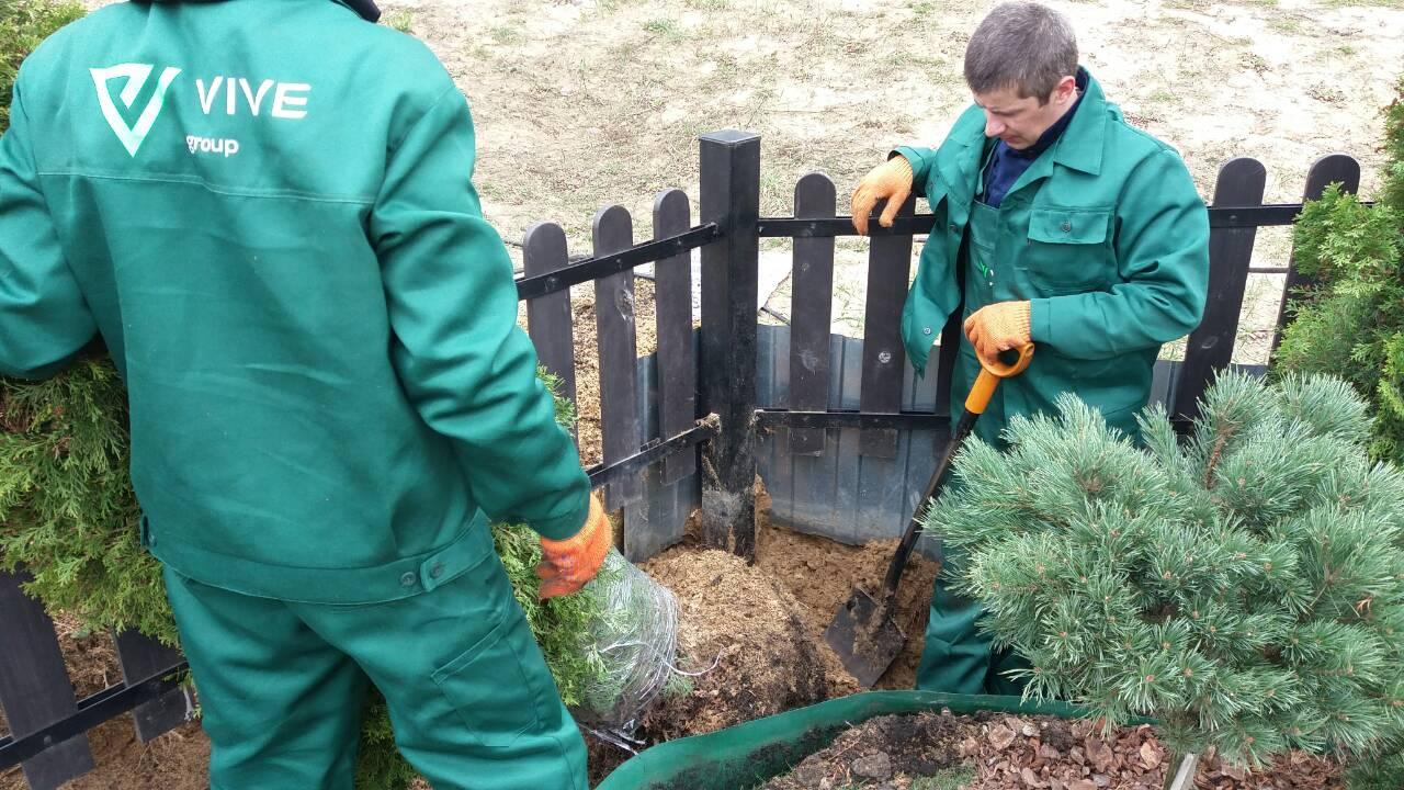 Пересадка крупномерных деревьев специалистами VIVE GROUP