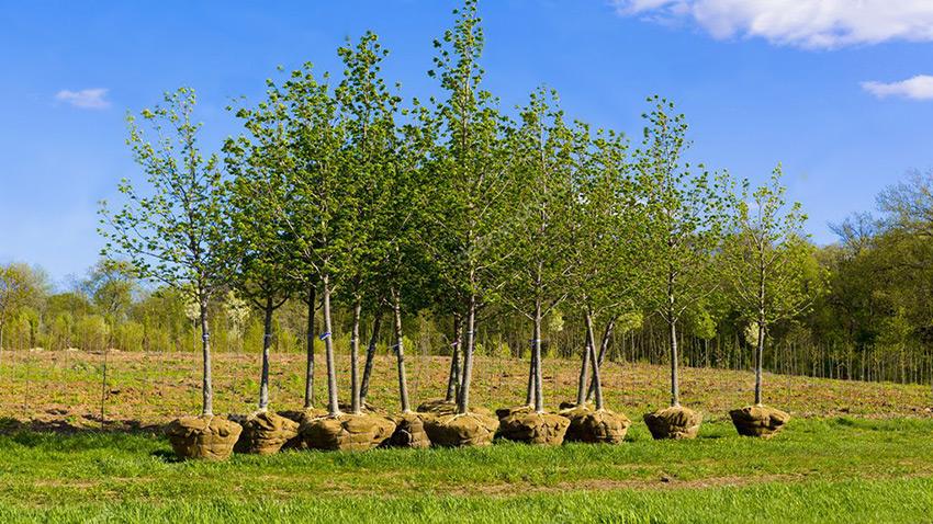 Посадка деревьев. Ландшафтный дизайн