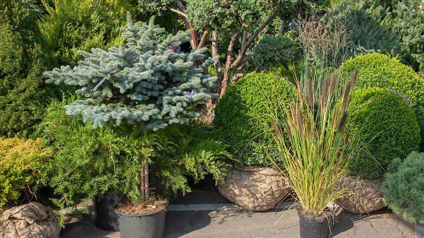 Озеленение. Посадка хвойных и декоративных деревьев