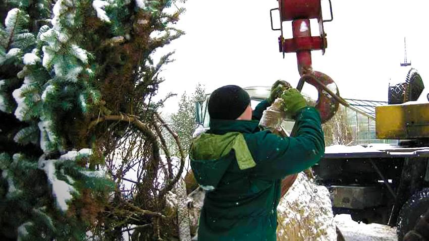 Посадка хвойных зимой | сосны, туи, ели