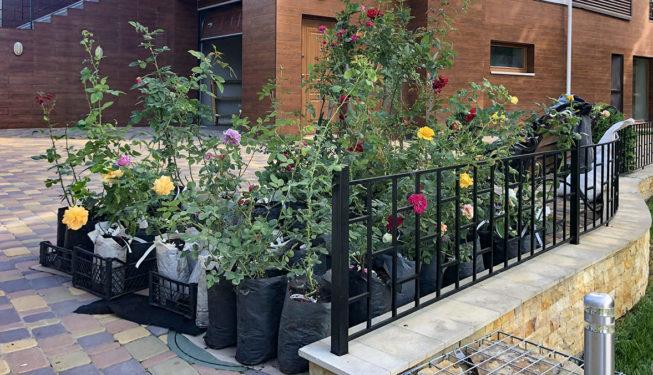 Розы для ландшафтного дизайна