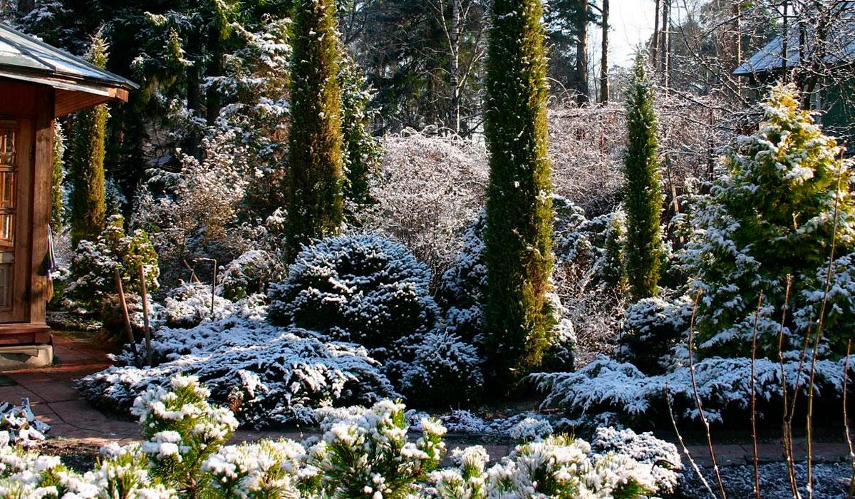 Хвойные для зимнего сада