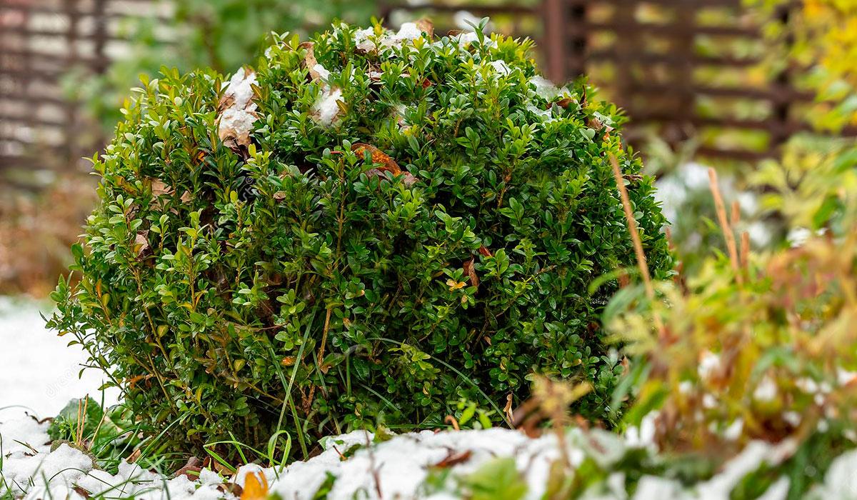 Самшит вечнозеленый - завсегдатай зимних садов