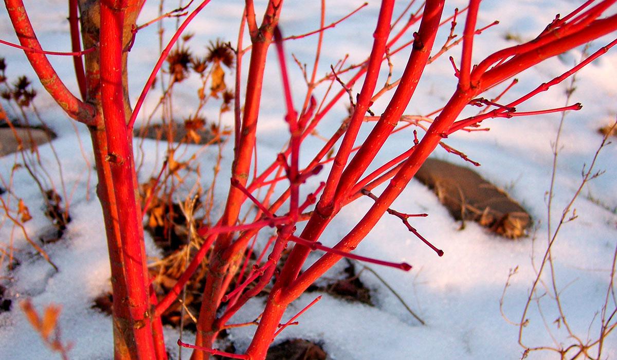 Клен Санго Каку ярко выделяется на фоне снежного пейзажа
