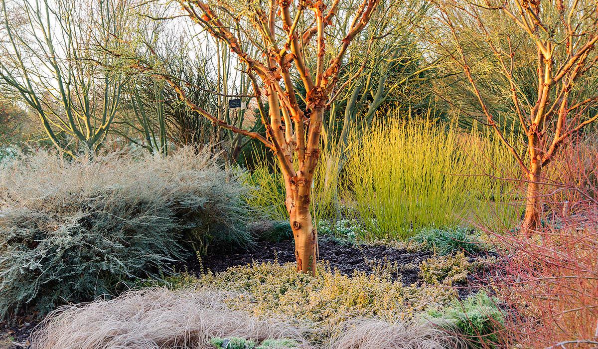Клен серый часто стает фокальной точкой зимнего сада