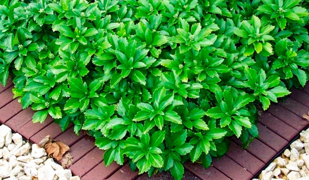 Пахизандра верхушечная - вечнозеленый почвопокровник