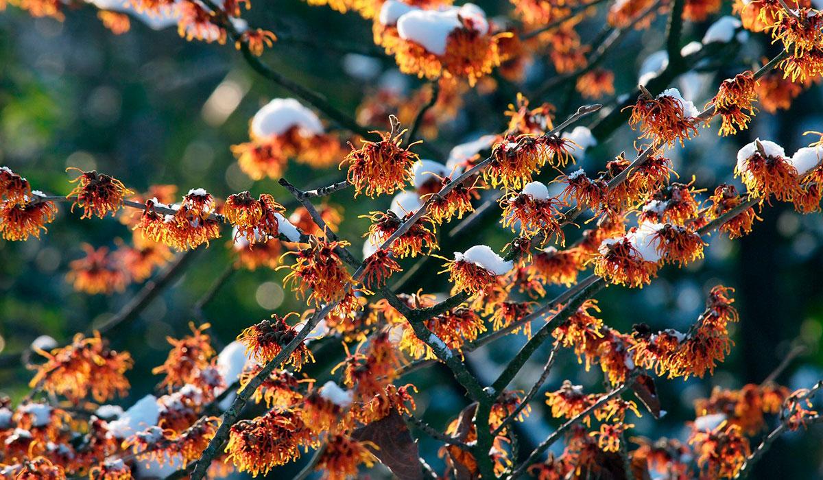 Гамамелис - еще одно растение цветущее зимой
